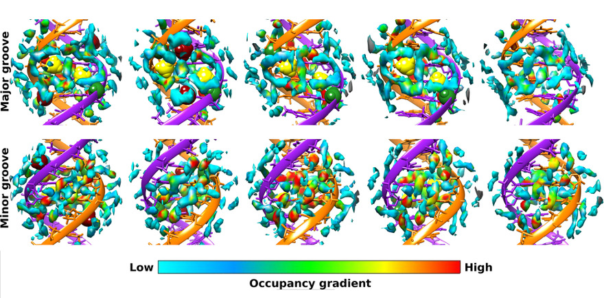 Distribution of water molecules along the surface of major and minor grooves of methylated-DNA